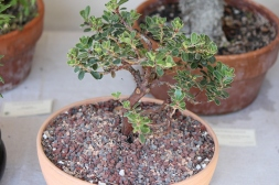 Manzanita bonsai