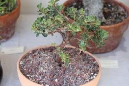 Manzanita bonsai