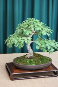 Oak bonsai