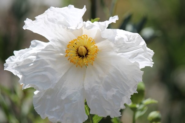 The Matilija Poppy